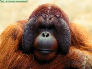 animals_primates_pondering20life20orangutan
